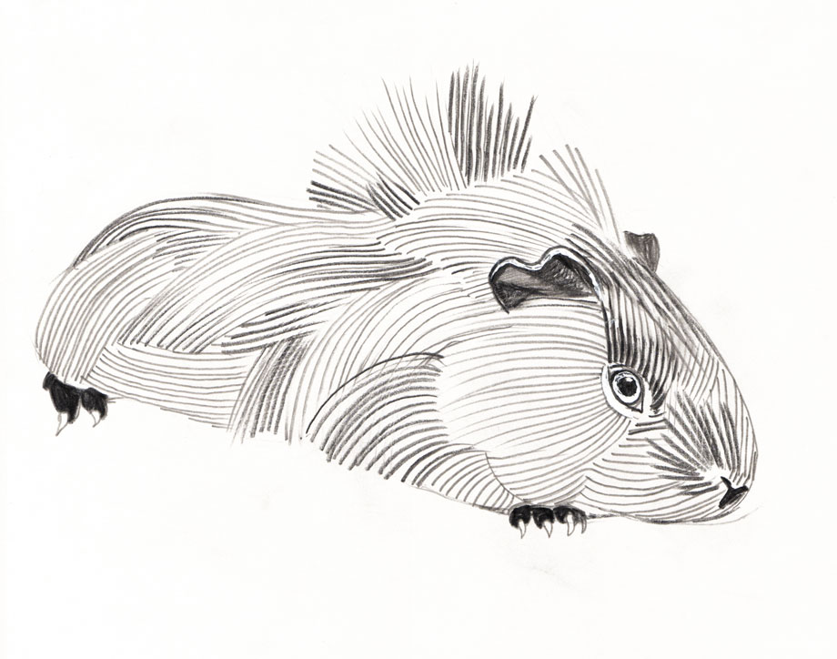 Pet Portrait Guinea Pig ©Jalmar Staaf